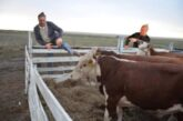 Скотское поведение: сотрудник ФСИН в Калмыкии заставлял заключенных воровать коров